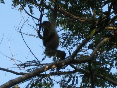 Costa Rica: Affe