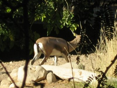 Arabian Oryx-Antilope