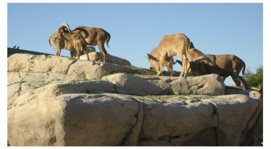 Arabische Wildschafe