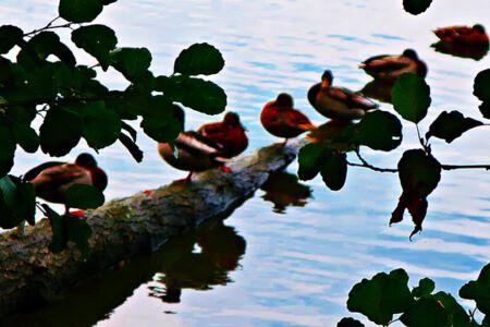 Enten auf der Stange