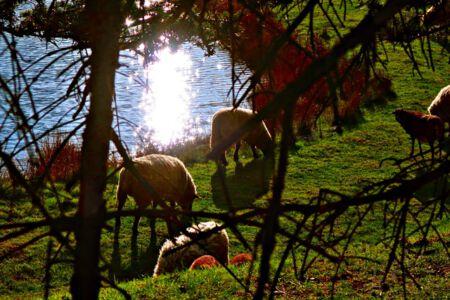 Schafe bei Irmenseul