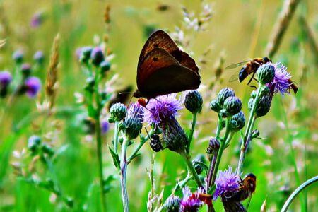 Schmetterling auf Distel
