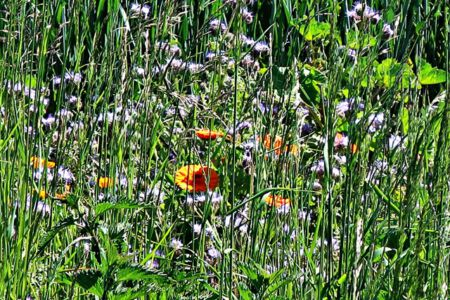Bienen- und Schmetterlingswiese
