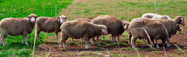 Schafe bei Klein Lafferde