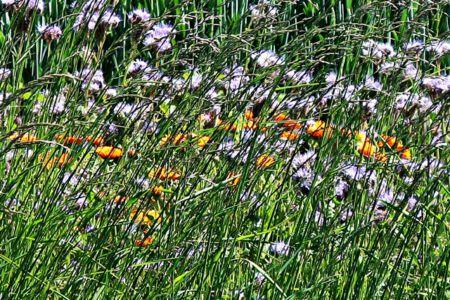 Bienen- und Insektenwiese