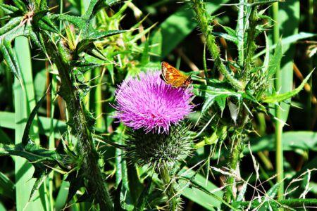 Distel mit Schmetterling