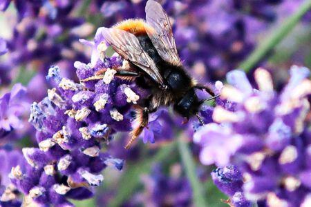Bienenpracht