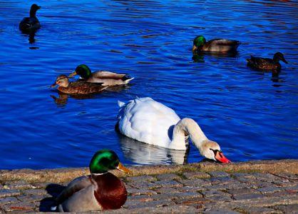 Schwan und Ente auf dem Forellenteich in Ilsenburg