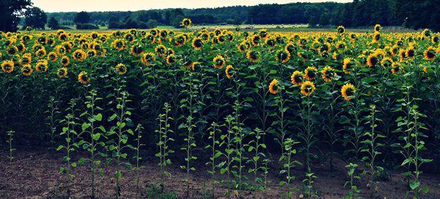 Sonnenblumenfeld bei Schapen
