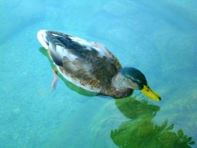 Ente auf dem Bleder See