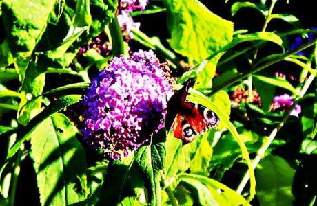 Schmetterlinge im Pfarrhausgarten