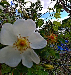 Buschrose