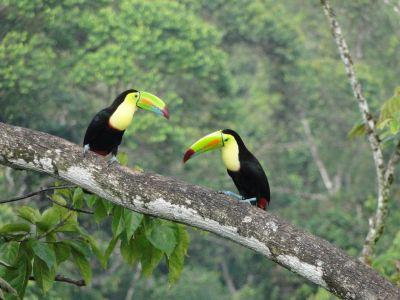 Costa Rica: Zwei Tukane