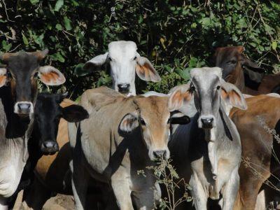 Costa Rica: Kühe