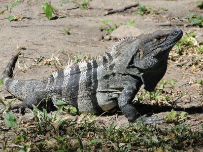Costa Rica: Leguan