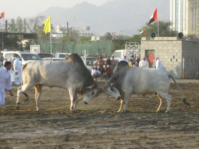 Fujairah: Bullfighting