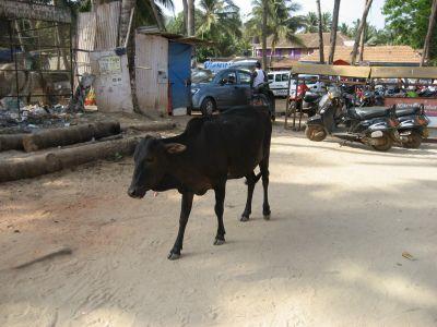 Goa: Heilige Kuh