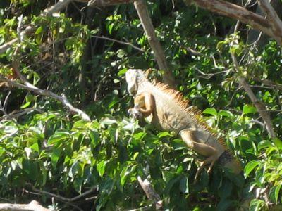 Costa Rica: Iguana