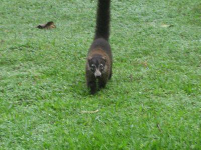 Costa Rica: Nasenbär