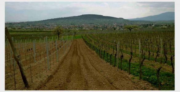 Rosheim: Wanderung durch den Circuit du Vignoble