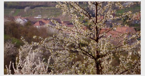 Rosheim: Baumblüte soweit das Auge reicht