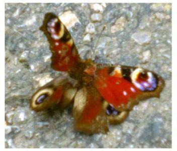 Tagzwei_Schmetterling