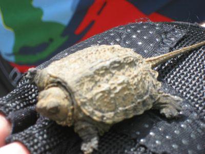 Costa Rica: Schildkröte