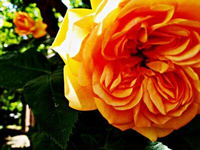 (Deutsch) Essenrode: Die Botschaft der Rosen