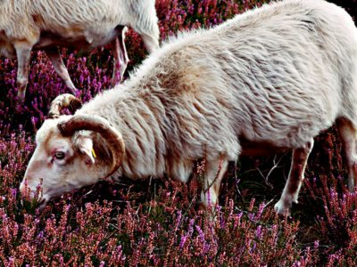 In the heathland: The nibbeling of the German moorland sheep